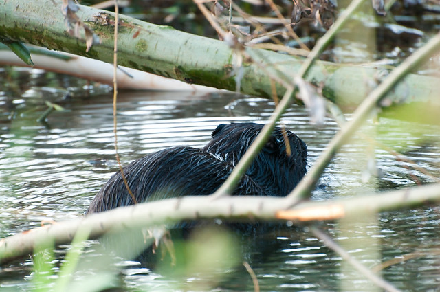 Beaver (adult)