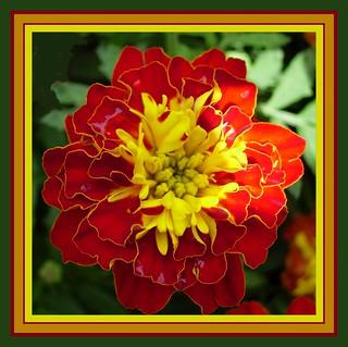 Tagete Del Mio Giardino Per Augurare Ai Miei Amici Di Fli Flickr