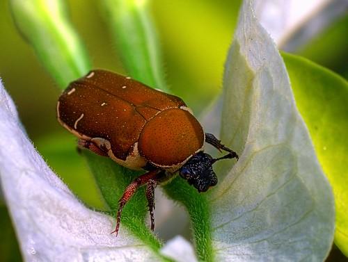 macro animal insect lumix beetle malaysia makro dcr250 raynox supershot raynoxdcr250 natureselegantshots fz28 dmcfz28 ishafizan