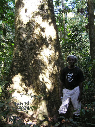 Mon, 03/12/2007 - 16:20 - Jean-Remy Makana (Plot Leader) beside Entandrophragma sp. in Monodominant forest. Credit: CTFS