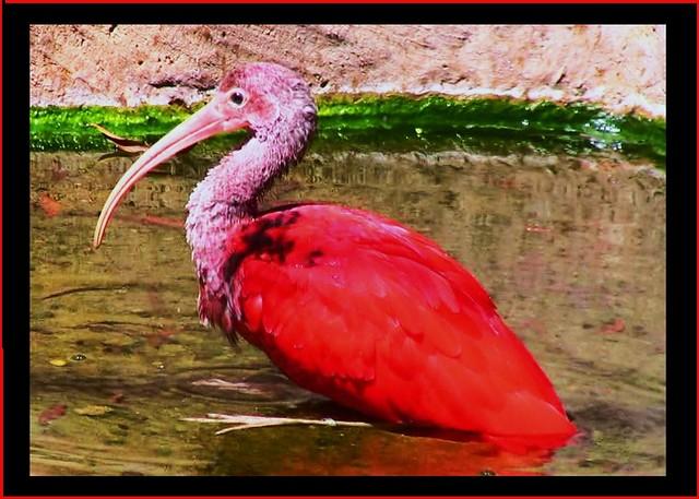 Brasilien-Iguassu-Parque das Aves, Roter Ibis - 3