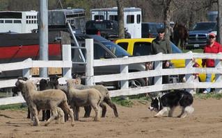 dog herding the sheep