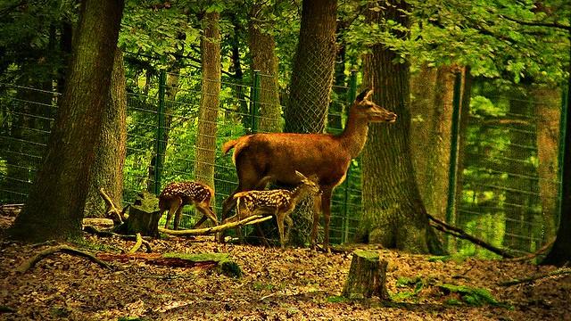 Wildpark, Pforzheim,Hirschkuh mit Jungen, 5254