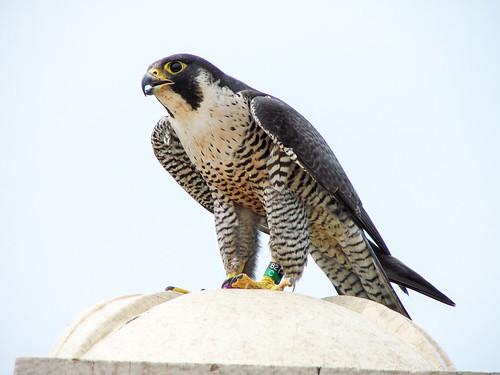 """""""Amy"""" the Peregrine Falcon"""
