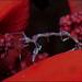 Skeleton Shrimp (Caprellid sp.) by Brian Mayes