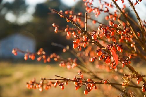 autumn sunset fall leaves burningbush