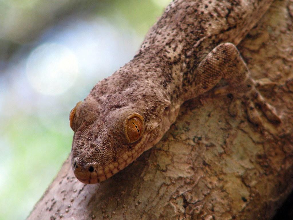 Homopholis sakalava. Blaesodactylus sakalava. Velvet gecko… | Flickr