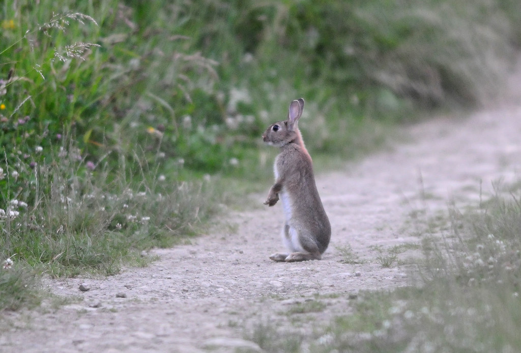 Rabbit Standing Up On Its Hind Legs On A Path Rabbit Oryc Flickr