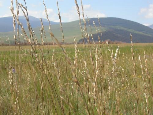 grass midsummer poaceae steppe perennial inflorescence festuca bunchgrass fescue bigbeltmountains coolseason roughfescue drysite poeae festucacampestris festucascabrella