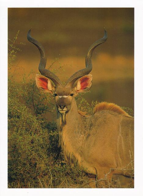 Greater Kudu Bull Postcard