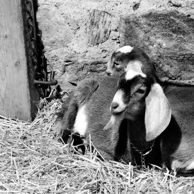Cute little goats