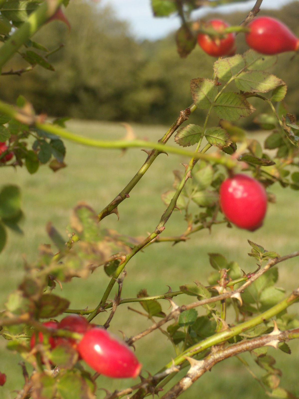 Rose hips Sandling to Wye