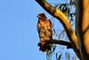 Black Sparrowhawk (Accipiter melanoleucus) JUV  by Ian N. White