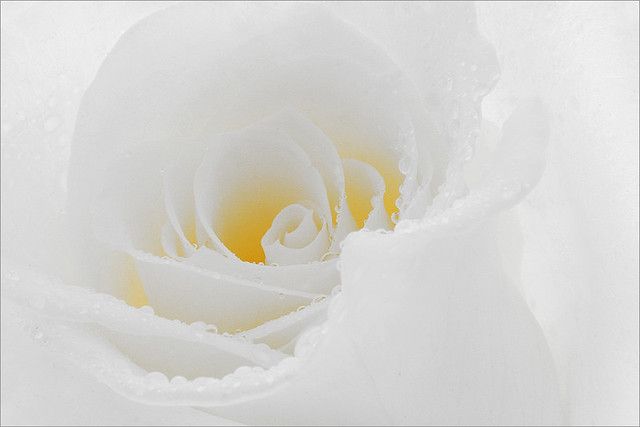 Flower / Rose Flower / Macro Flower / White Rose Flower / high key / close up rose / closeup / - IMG_9865 -