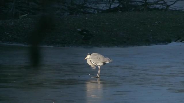 Heron on Ice
