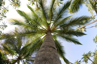 Palm trees | by Hitchster