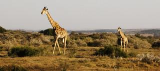Giraffe and Calf | by Vin Crosbie