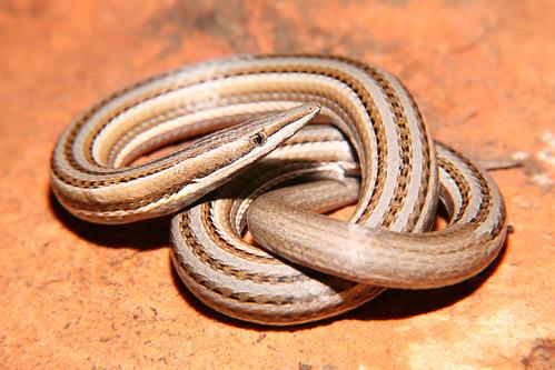 Burton's Legless Lizard (Lialis burtonis), Simpsons Gap, West MacDonnell NP, Central Australia.