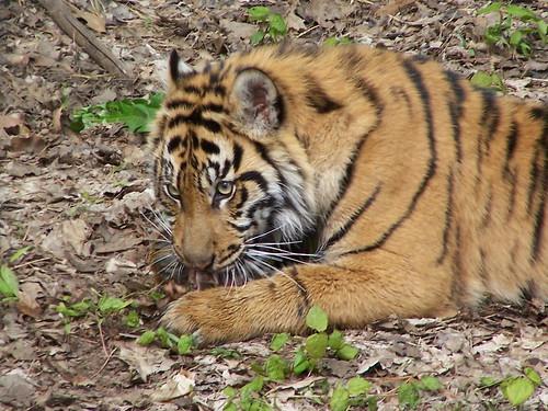 Sumatran tiger | by cetaylor