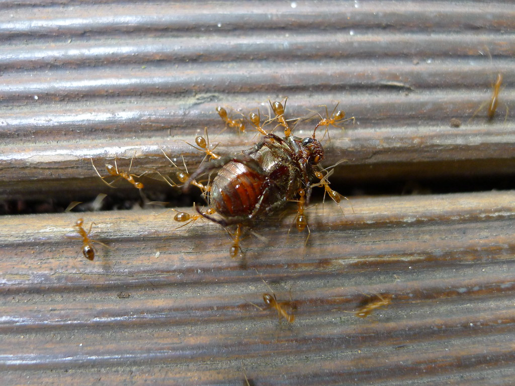 Yellow crazy ants v beetle