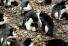 Royal Penguins with young - Macquarie Island by markfountain52