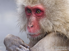 Japanese Macaque (Macaca fuscata) | by Dennis Binda