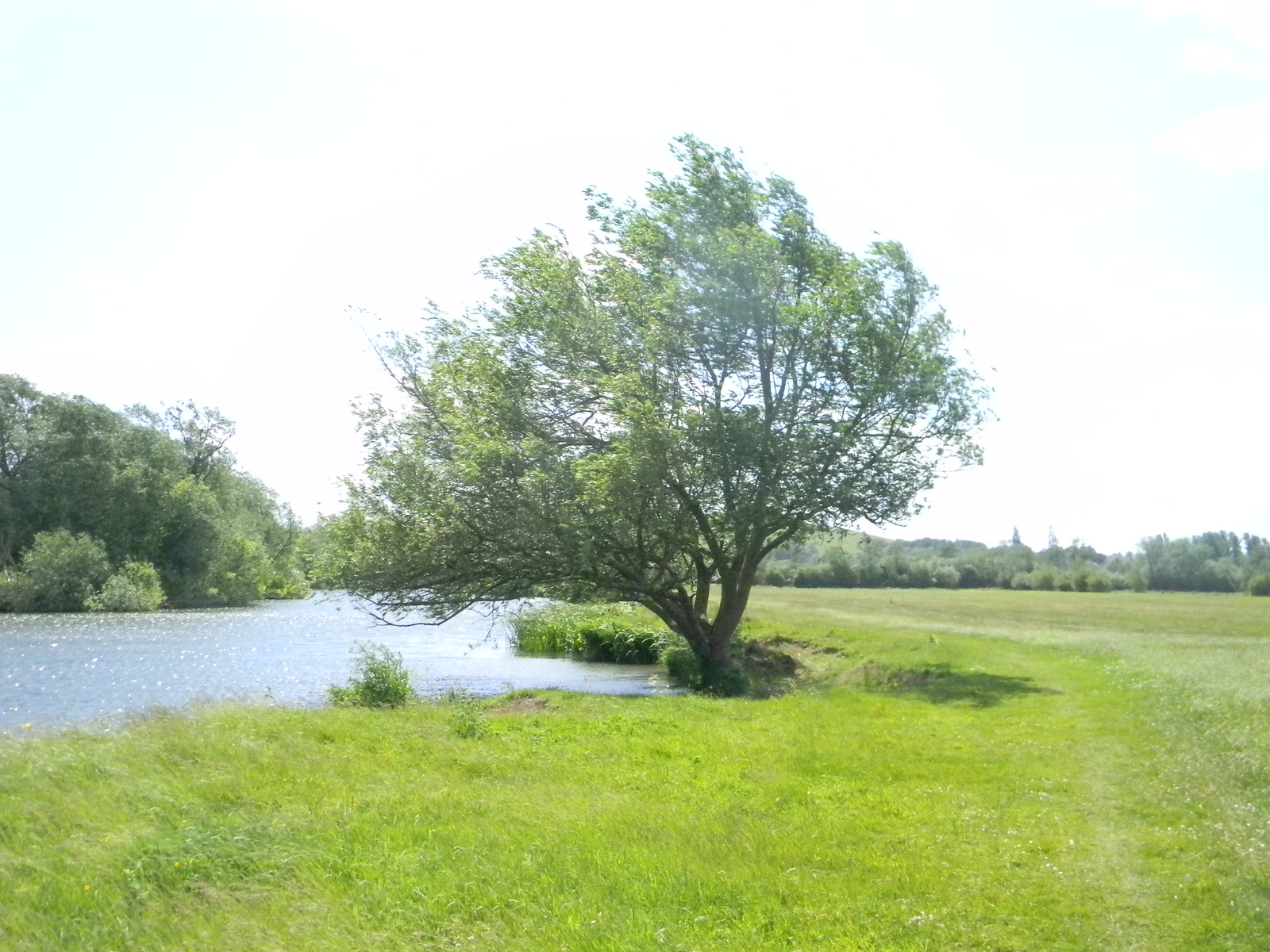 Tree by the Thames Appleford Circular
