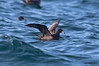 Flesh-footed Shearwater (Puffinus carneipes) by shyalbatross232