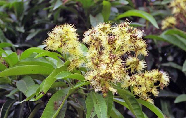 Buchholzia tholloniana Hua (CAPPARACEAE)