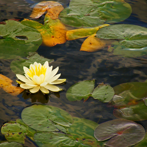 white ontario canada water waterlily lily floating coboconk gullriver