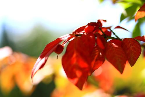 autumn red orange green fall colors yellow bokeh pennsylvania burningbush flickrsbest bokehlicious canoneos50d