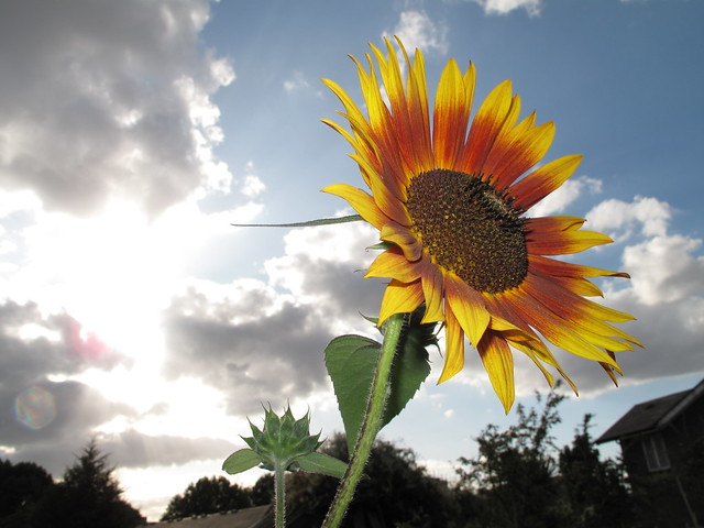 Sunflower with dramatic sky in background (with flash) with tiny flower bud behind