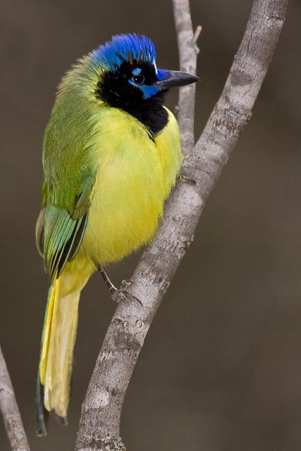 Green Jay at Fennessey Ranch