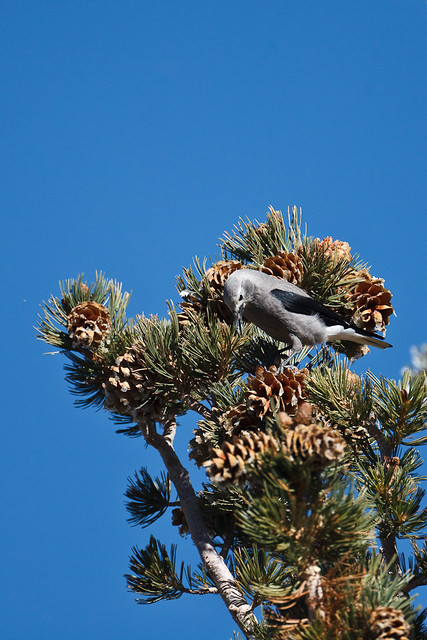 Clark's Nutcracker with Limber Pine seed