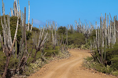 Cactuses lining a dirt road