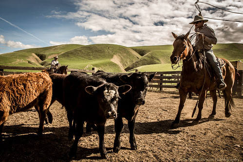 cattle-147 | by Colin Remas Brown