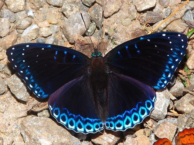 POPINJAY Stibochiona nicea,  Namdapha National Park, Arunachal Pradesh, India