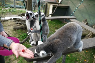 Inside the Lemur cage! Lunch is served :D | by OrenWolf