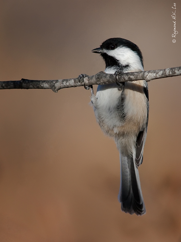 Black-capped Chickadee by Raymond Lee Photography