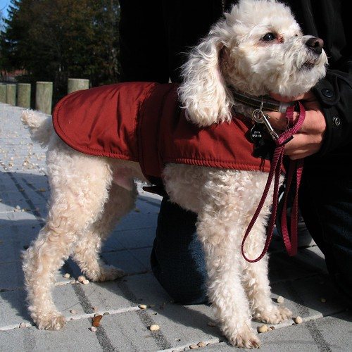Poodle Wearing Coat | by Mr.TinDC