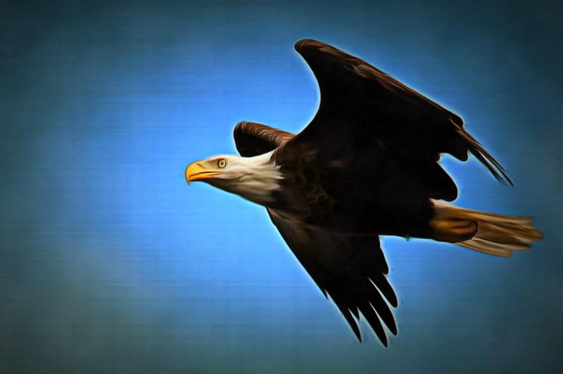 Mr Majestic - Bald Headed Eagle