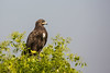 Greater Spotted Eagle by Jnarin