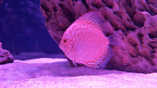 Young pigeon red discus