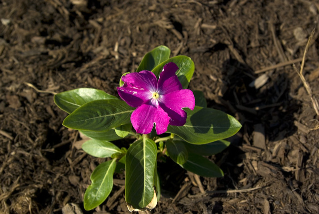 Catharanthus, UT Gardens, Knoxville, Knox Co, TN