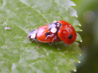 Ladybugs making love :)
