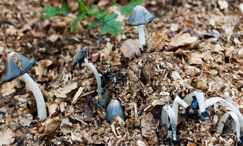 Inkcaps on wood chippings