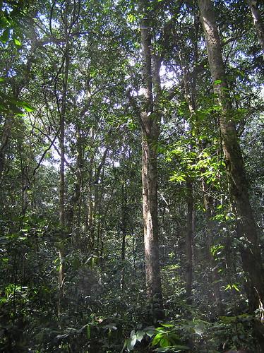 Mon, 03/12/2007 - 15:00 - Monodominant forest understorey. Credit: CTFS