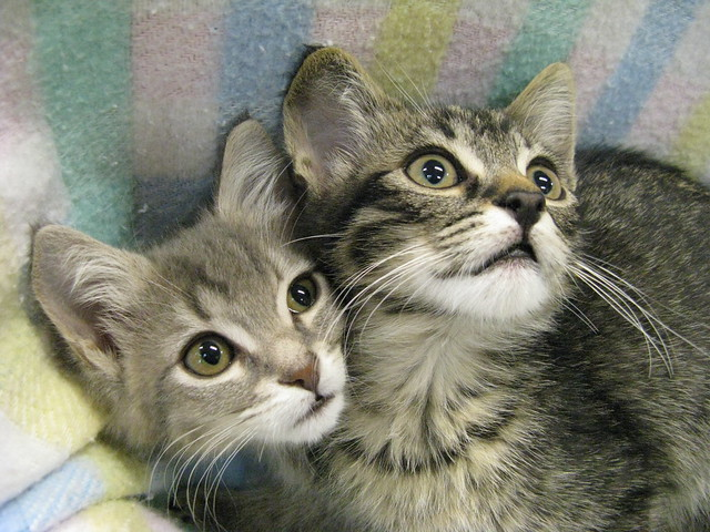 Washington on the Left and the *New* Lincoln on the Right, Tabby Kittens at Heartland Humane Society