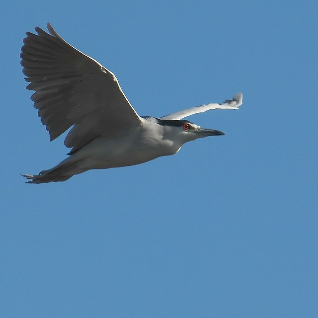 Night-heron flying by