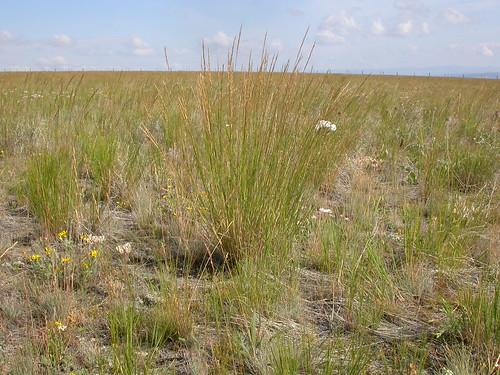grass habit poaceae steppe perennial wheatgrass bunchgrass agropyron bluebunchwheatgrass pseudoroegneriaspicata triticeae bigbeltmountains coolseason pseudoroegneria agropyronspicatum